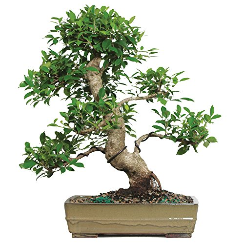 - Brussel's Live Golden Gate Ficus Specimen Indoor Bonsai Tree - 20 Years Old; 25