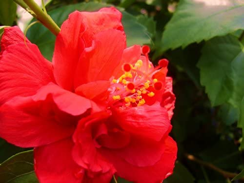Amazoncom Andersons Double Red Tropical Hibiscus Bush Shrub Live