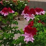 Seeds Shopp - Rare Color Geranium Seeds Perennial Flower Seeds Pelargonium Graveolens Flowers for Rooms 30PCS Brand New !
