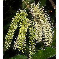 GEOPONICS Macadamia integrifolia | 5_seed