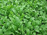 Bulk Organic Arugula Seeds (1/4 lb) 41,250 Seeds