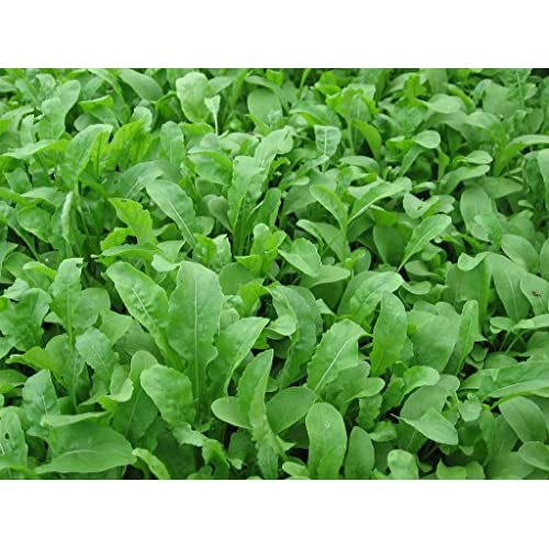 Hot Bulk Organic Arugula Seeds (1/4 lb) for sale