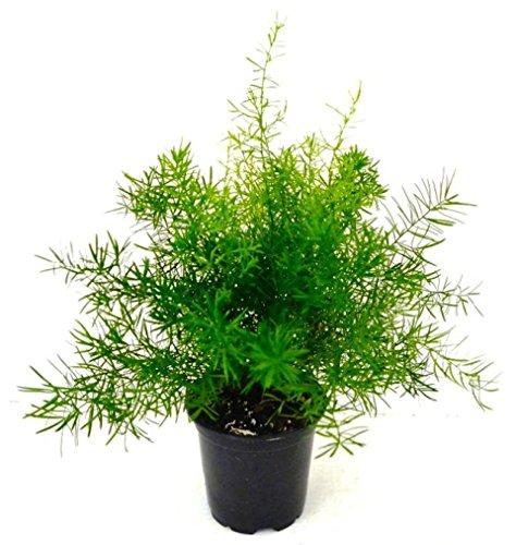 Asparagus Fern, 4