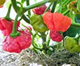 10 Rocotillo Pepper Seeds, (Capsicum chinense) A rare and hard to find pepper