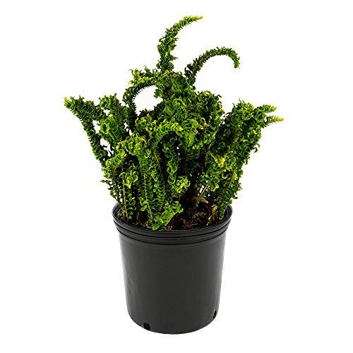 AMERICAN PLANT EXCHANGE Crinkle Leaf Sword Fern Indoor/Outdoor Air Purifier Live Plant, 6