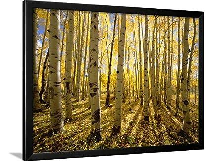 Amazon.com: ArtEdge Aspen Trees in Autumn by John Eastcott & Yva ...