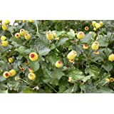 100 TOOTHACHE / EYEBALL PLANT Spilanthes Oleracea Red & Yellow Flower Seeds *Comb S/h
