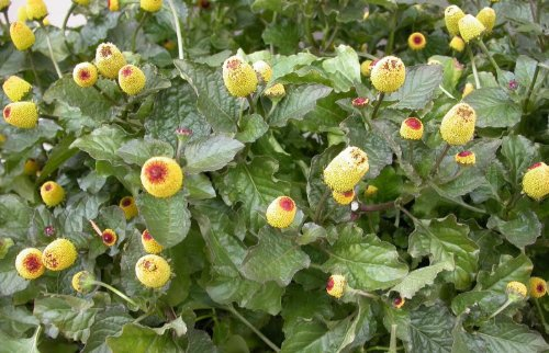 Toothache Plant - 100 TOOTHACHE / EYEBALL PLANT Spilanthes Oleracea Red & Yellow Flower Seeds *Comb S/h