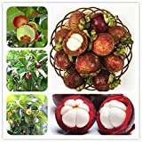 WANCHEN Family Clusiaceae Garcinia Mangostana Bonsai Evergreen Tree Purple Mangosteen Fruit Bonsai Rate 95% Garden Plant 20 Pcs Potted (Seeds not Plants)
