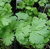 "CORIANDOLO ""CILANTRO"" 100 SEMI Foglia LARGA Coriandrum Saticum pianta aromatica"
