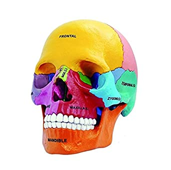 NSKI Puzzle Didactic Exploded Beauchene Skull Color Human 1