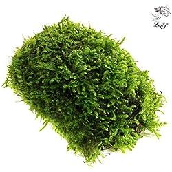 Luffy All Natural Moss - Beautiful Aquatic Decor Safe for Freshwater Fish Tanks - Fun and Playful Aquarium Toy for Betta, Tetra, Gourami & Shrimp to Swim Around & Hide (Mini Moss (1 Pack))