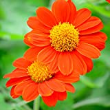 Outsidepride Orange Tithonia Mexican Sunflower Plant Seed - 500 Seeds