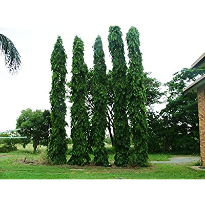 15 Seeds Polyalthia Longifolia, ashoka Tree Seeds, Indian Mast Tree Seeds : Garden & Outdoor