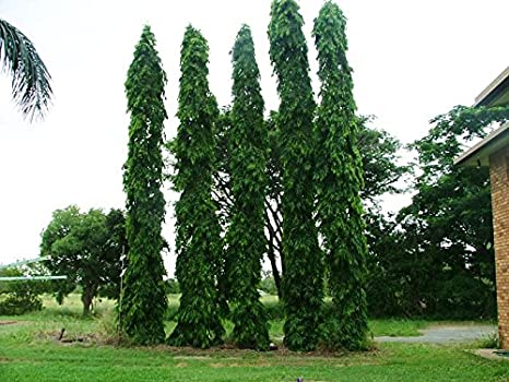 ashoka tree images  Amazon.com : 15 Seeds Polyalthia Longifolia, ashoka Tree Seeds ...