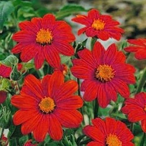 (Sunflower- Mexican- Red- 50 Seeds)