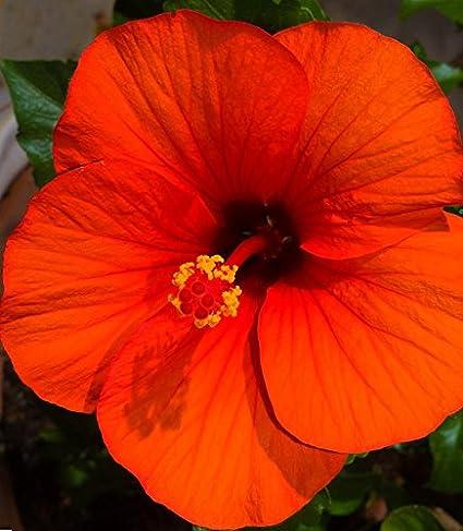 Amazoncom Diamond Perennials Tropical Hibiscus Orange Delight