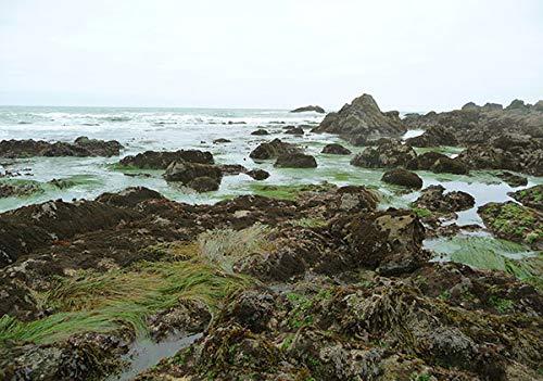 VitaminSea Organic Nori Seaweed Laver - 4 oz Whole Leaf Maine Coast - USDA & Vegan Certified - Kosher - Perfect For Keto & Paleo Diets - Sun Dried - Raw Wild Atlantic Ocean Sea Vegetables (NW4)