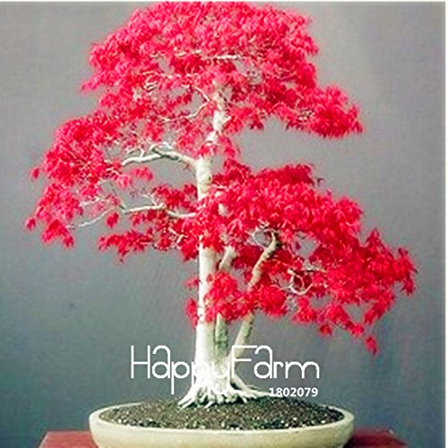 (Pots Seedling Tree Seedling New Arrival! 20 Pcs/Pack Potted Plant Plantas American Blood red Maple Tree Seedling Bonsai Plants DIY Home & Garden)