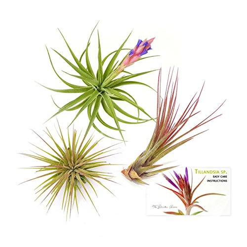 The Drunken Gnome AIR PLANTS - ASSORTED VARIETY PACK - 3 air purifying flowering tillandsia for terrarium, fairy garden starter kit, home office, indoor outdoor, corporate gift (3 PACK)