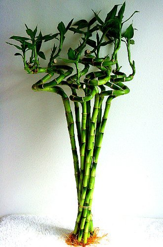 jmbamboo-10 Stalks of 18 Inches Spiral Lucky Bamboo, + 10 Bottles of mo'green Lucky Bamboo Fertilizer Plant Food Exclusive Design By jmbamboo by JM BAMBOO (Image #5)