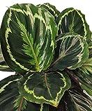 Calathea Medallion - Live Plant in a 4 Inch Pot