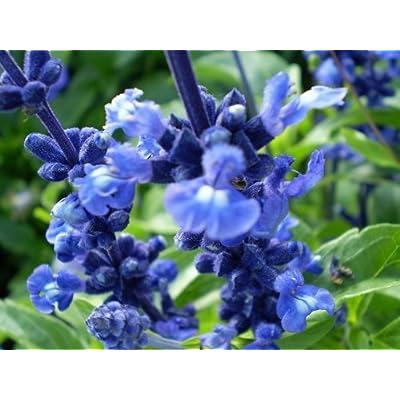 500 BLUE BEDDER SAGE Salvia Farinacea Flower Seeds : Flowering Plants : Garden & Outdoor