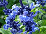 500 BLUE BEDDER SAGE Salvia Farinacea Flower Seeds