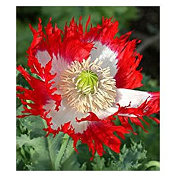 Amazon Rare Persian Blue Poppy Flower Seeds Diy Home Garden