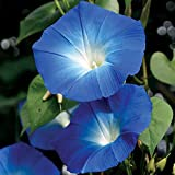 Heavenly Blue Morning Glory Seeds, Pack of 900+ Seeds, by Seeds2Go