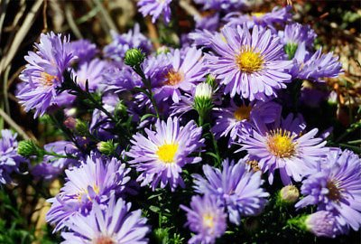 Tall Aster 'Blue Lagoon' - Late summer flowers. 1 gallon live plant, bare root