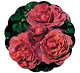 Stargazer Perennials Hot Cocoa Rose Plant Own Root Floribunda Lovely Chocolate Colored Flowers