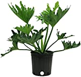 Costa Farms Philodendron Selloum Live Indoor Floor Plant in 8.75-Inch Grower Pot