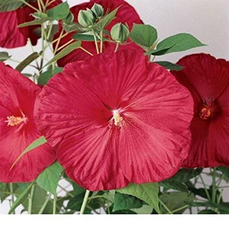 Amazoncom Luna Red Hibiscus 10 Seed Stunning Flowers A Must Have