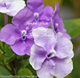 Brunfelsia pauciflora Floribunda Yesterday Today Tomorrow 10 Seeds Dwarf Plant