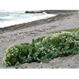 HEIRLOOM NON GMO Sea Kale (Rare) 10 seeds