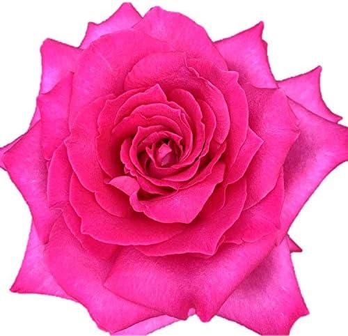 バラ苗 ローズパッション 大苗7号専用角鉢入 複色系 Rose for You(発売記念特典)ぼかし肥料1kg付き