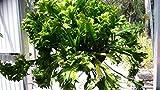 Seeds: s Nest Asplenium scolopendrium Epiphyte Small Size
