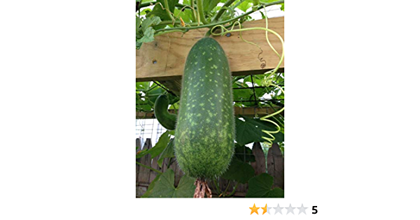 Bí Đao 25 PCS  of High Quality WAX GOURD Fuzzy Melon Seeds