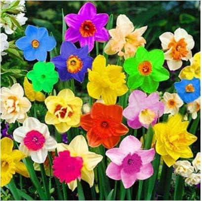TOMASA Seedhouse- 100 semillas de narcisos raros semillas de flores multicolores perennes campanas semillas de flores bulbos de flores de hoja perenne para balcón, jardín (#06)