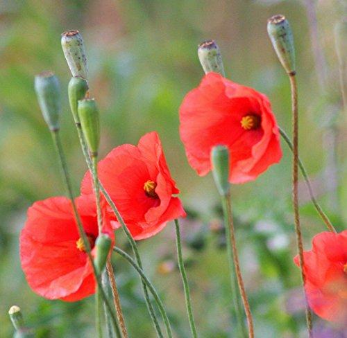 250 Red Long POD Poppy Papaver Dubium Long Headed Blindeyes Flower ()
