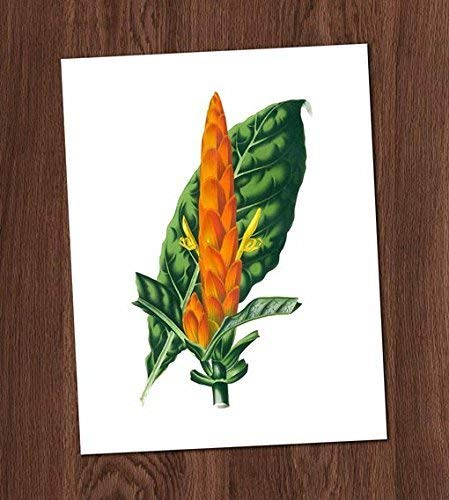 Aphelandra Veriegata Orange Tropical Flower Bromeliad Vintage Art Print 8x10 Wall Art Botanical Illustration Decor