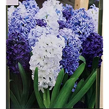 Delft Blue Hyacinth Mix 10 Bulbs -Soft Blue/White- FRAGRANT - 15/16 cm Bulbs