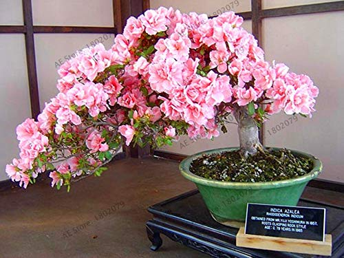 Arrowroot Plant Tropical Flowers.Seeds Big Sale!10 pcs Japanese Sakura Plantas Oriental Cherry Blossom Seedling Bonsai Plants for Home & Garden,#T5PDS2 ()