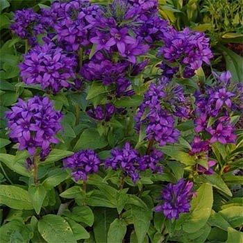 Outsidepride Bellflower Superba - 1000 Seeds (Purple Campanula Plant)