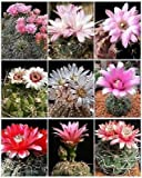 Gymnocalycium Variety Mix Cactus Cacti Mixed Lot Lots Semi Seed 25 Seeds ecc03