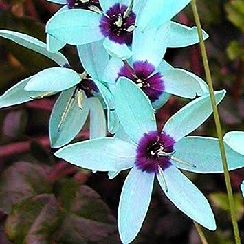 Ixia Viridiflora * Dazzling Turquoise * RARE * Endangered