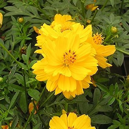 Garden Cosmos Yellow 100 Seeds non GMO