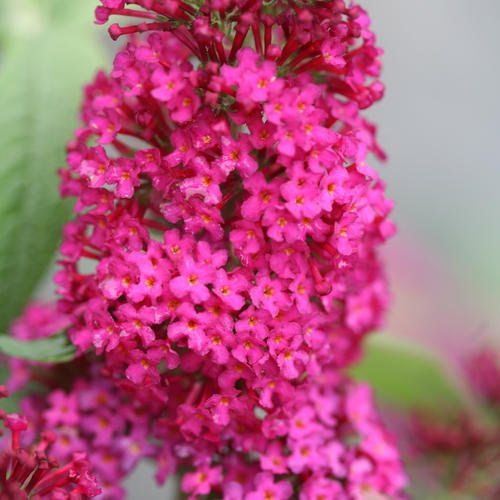 Miss Molly Butterfly Bush > Buddleia 'Miss Molly' >Landscape Ready 1 Gallon Container