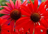 Tomato Soup Coneflower - Echinacea - Gallon Pot - Stunning!